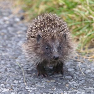 Look out, look out, there's hedgehogs about!